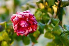 冻结的时间 冻结的红色秀丽 库存照片