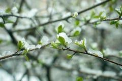 冻结的春天第一片生长叶子,花卉葡萄酒冬天背景,宏观图象 在雪下的新鲜的绿叶在春天 库存图片
