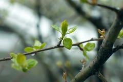 冻结的春天第一片生长叶子,花卉葡萄酒冬天背景,宏观图象 在雪下的新鲜的绿叶在春天 免版税库存图片
