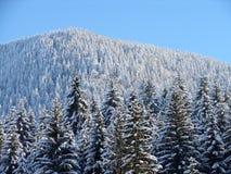 冻结的杉木 库存照片