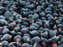 冻结的浆果无核小葡萄干 库存照片