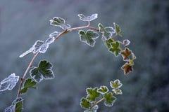 冻结的灌木 库存照片