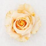冻结的玫瑰白色 库存图片