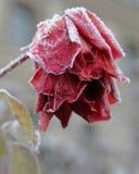 冻结的红色上升了 免版税库存图片