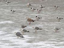 冻结的组海鸥 库存图片