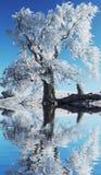冻结的结构树白色 免版税库存图片