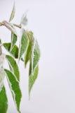 冻结的leafes在秋季11月 免版税库存照片