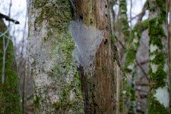 冻结的spiderweb在冬天季节期间的森林里 免版税库存图片