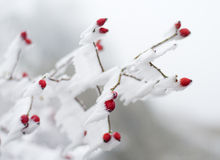 冻结野蔷薇 图库摄影