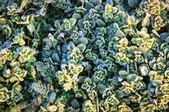 冻绿色叶子和一棵植物的蓝色花在冬天 免版税库存照片