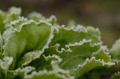 冻莴荬菜植物 免版税库存照片