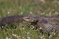 准备光滑的蛇Coronella的austriaca攻击 爬行动物卷曲的圆环 免版税库存照片