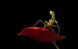 准备好一只绿色的螳螂的宏指令突袭 免版税库存图片