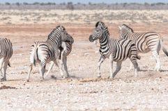 准备好两匹Burchells斑马的公马互相攻击 免版税图库摄影