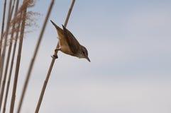 准备好伟大的芦苇的鸣鸟飞行 图库摄影