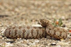 准备好危险的蛇蝎触击 库存照片