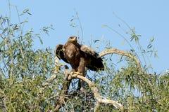 准备好干草原的老鹰飞行JORBEER郊外比卡内尔 免版税库存图片