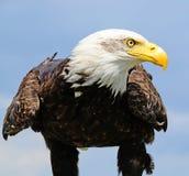准备好幼小的白头鹰飞行 库存照片