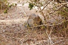 准备好攻击的豹子 免版税库存照片