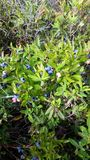 准备好新鲜的蓝莓采摘 免版税图库摄影