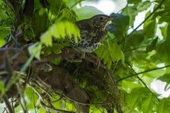 准备好杉状尾的鸟或的Piwakawaka飞行 免版税库存照片