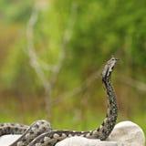 准备好欧洲的毒蛇攻击 免版税库存图片