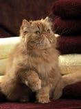 准备好波斯的小猫使用 免版税库存图片