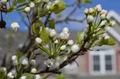 准备好洋梨树的芽开花 库存图片
