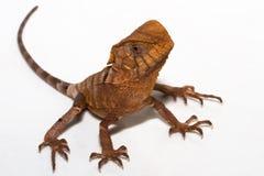 准备好活动的蜥蜴 免版税库存照片