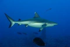 准备好灰色鲨鱼的下颌攻击水中接近的画象 免版税库存图片