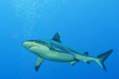 准备好灰色鲨鱼的下颌攻击水中接近的画象 库存照片