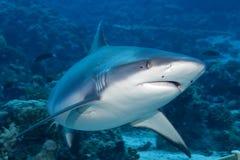 准备好灰色鲨鱼的下颌攻击水中接近的画象 免版税库存照片