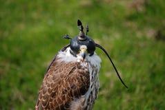 准备好猎鹰的狩猎 库存图片
