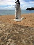 准备好白色欧洲鲱鸥鸟鸥属的argentatus飞行 库存照片