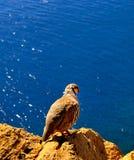 准备好的松鸡在海飞行 免版税图库摄影