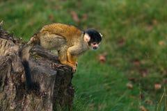 准备好的松鼠猴子跳跃 免版税图库摄影