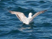 准备好的海鸥离开! 免版税库存照片