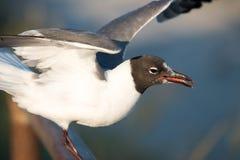 准备好的海鸥采取在木板走道的飞行在大洋城, NJ 库存照片