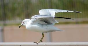 准备好的海鸥采取飞行 库存图片