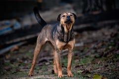 准备好的狗攻击 免版税库存照片