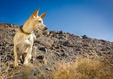 准备好的狗散步 图库摄影