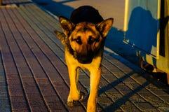 准备好的狗攻击 免版税图库摄影