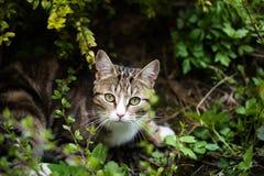 准备好的猫攻击 免版税库存照片
