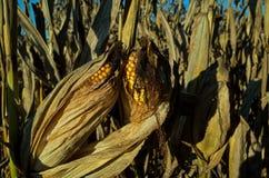 准备好的玉米收获 库存照片