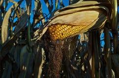 准备好的玉米收获 免版税图库摄影