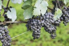 准备好的葡萄为下葡萄酒酿造被收获 免版税库存图片