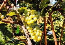 准备好的葡萄园生产酒 免版税库存照片