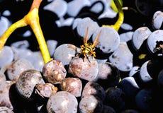 准备好的葡萄园生产酒 库存图片