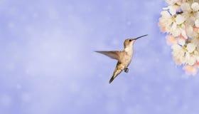 准备好的蜂鸟提供在春天flowe 库存照片