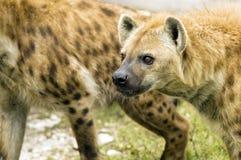 准备好的鬣狗攻击 免版税库存照片